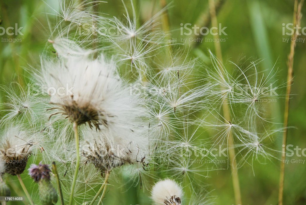 Fluffy flower on a green background. stock photo