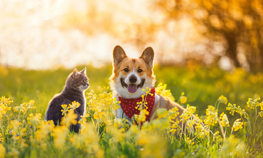 cute fluffy friends a corgi dog and a tabby cat sit together in a sunny spring meadow