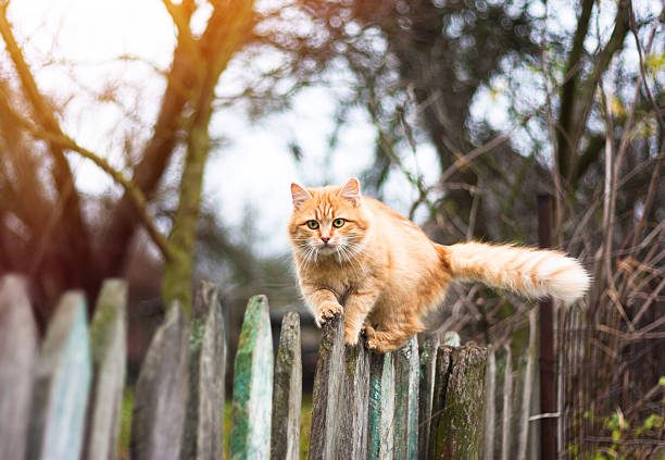Fluffy ginger tabby cat walking on old wooden fence picture id543194692?b=1&k=6&m=543194692&s=612x612&w=0&h=fthkqiwrzwlwcwkin pypz 5ncwlbf5zaqq1ua1im6a=