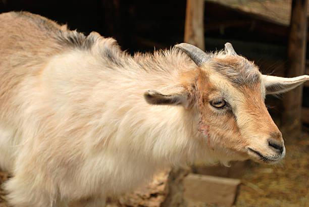 fluffy goat stock photo