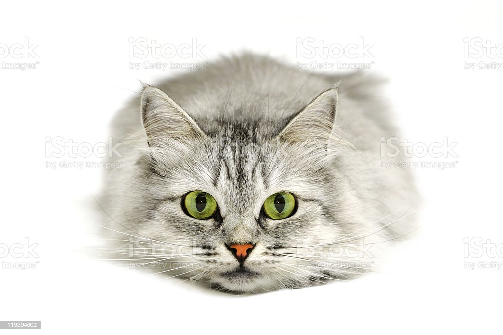 Fluffy gray cat lying down with pink nose and green eyes stock photo