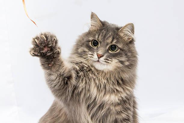 Fluffy gray cat picture id576748574?b=1&k=6&m=576748574&s=612x612&w=0&h=it2ryayismnzywgpy qxz1qnj qwplbq1vtsde9ombs=