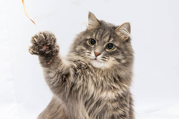 Fluffy gray cat fluffy gray cat claw stock pictures, royalty-free photos & images