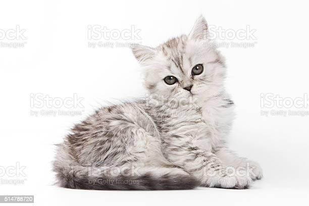 Fluffy gray kitten british cat picture id514788720?b=1&k=6&m=514788720&s=612x612&h=gaeajuqpva kuyboqcjb4bs0wbuvdxoqrdgmumbikza=