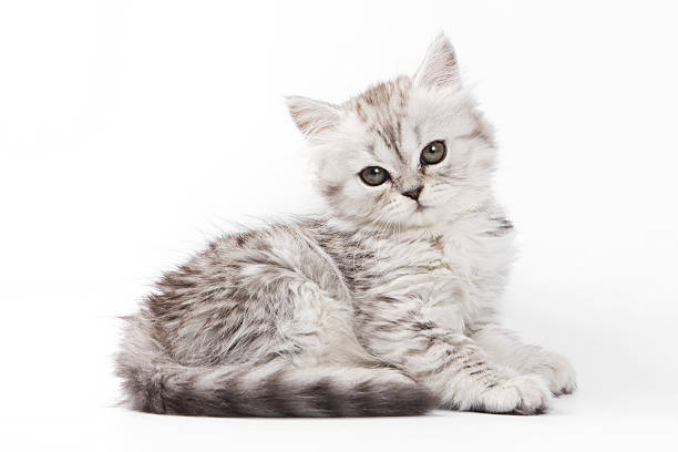 Fluffy gray kitten british cat picture id514788720?b=1&k=6&m=514788720&s=612x612&w=0&h=hpitgq3o7b yakkywpzybgfyyt454hzrkfx02w jmqy=