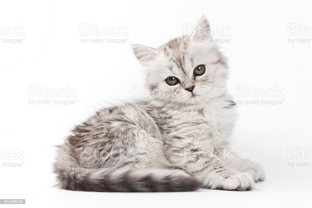 Fluffy gray kitten British cat (isolated on white) stock photo