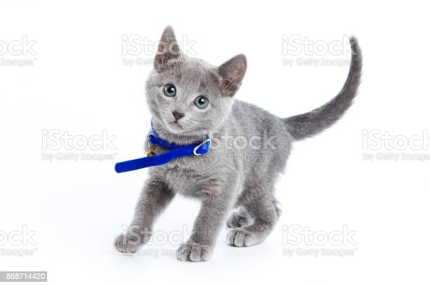 Fluffy gray kitten of a russian blue cat in a collar picture id858714420?b=1&k=6&m=858714420&s=612x612&h=6g1xwfi6iu8gwrchggnxrk3zcr lslo vixkc7hj6x8=
