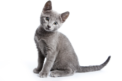 istock Fluffy gray kitten of a Russian blue cat (isolated on white) 858701710