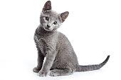 (白で隔離) ロシアの青猫のふわふわ灰色子猫