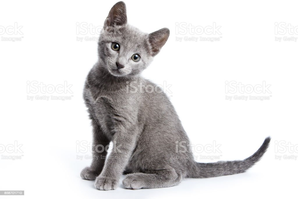 Fluffy gray kitten of a Russian blue cat (isolated on white) stock photo