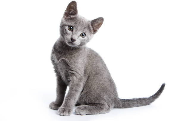 fluffy gray kitten of a russian blue cat (isolated on white) - cute stock pictures, royalty-free photos & images