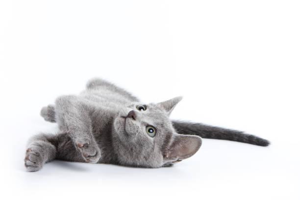 Fluffy gray kitten of a russian blue cat picture id858707348?b=1&k=6&m=858707348&s=612x612&w=0&h=jmnrcv 8jfunakjvzv8blsimytff5a4p2yueh2camyk=