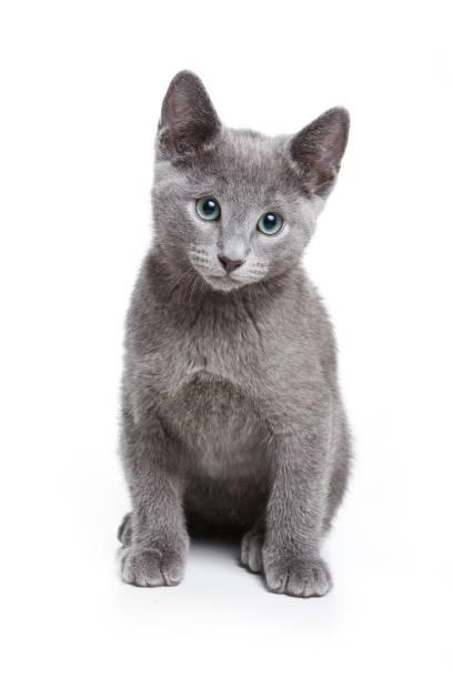 Fluffy gray kitten of a russian blue cat picture id858714728?b=1&k=6&m=858714728&s=612x612&w=0&h=wm3vxehbf9 evzhgmahmqneoubkuondepfnair0tueg=