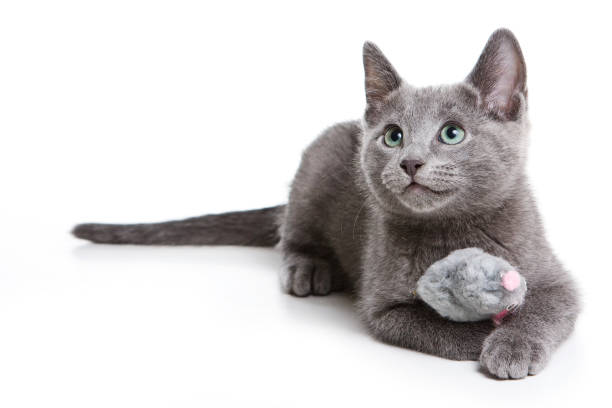Fluffy gray kitten of a russian blue cat picture id858715176?b=1&k=6&m=858715176&s=612x612&w=0&h=obce bb81s16wbj0e4mbppdkqw7o4zli4rkxrwznxlg=