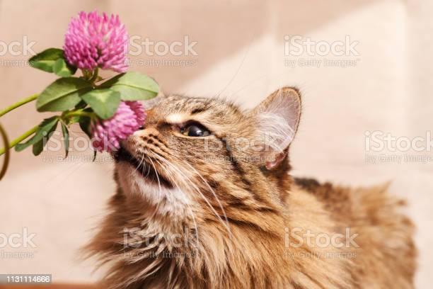 Fluffy gray tabby cat and a pink clover flowers on a beige background picture id1131114666?b=1&k=6&m=1131114666&s=612x612&h=t6ixbfhu899d jdvvfq6ez4ayi4tsmi4tc3ggtopbwi=