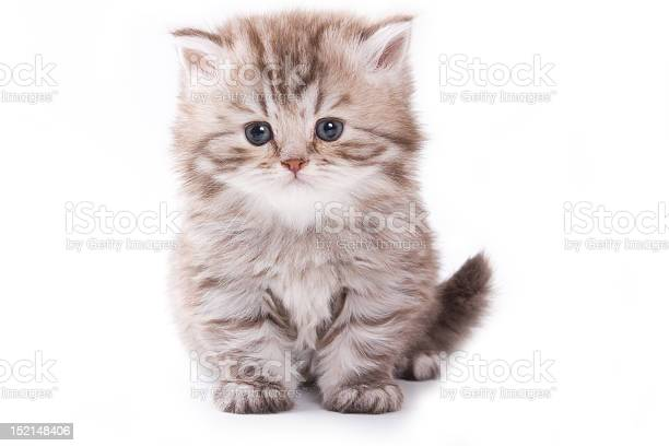 Fluffy gray white kitten sitting on white background picture id152148406?b=1&k=6&m=152148406&s=612x612&h=op7tahrhvr7a0k cvrgh 3yqvco0goa1huu1qph1pfw=