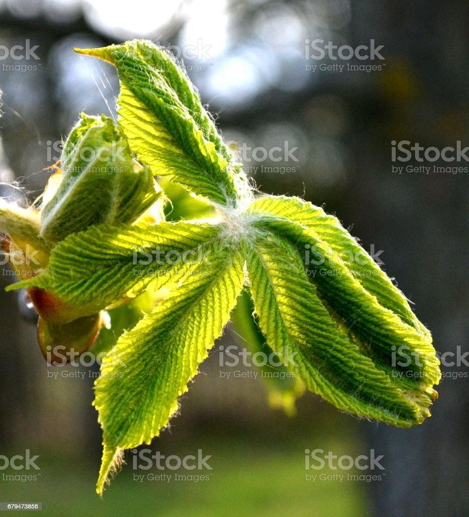 板栗在陽光下發光的蓬鬆綠色的葉子 免版稅 stock photo