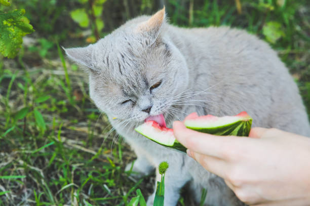 Fluffy grey cat eats watermelon cute home pet outdoors summer vibes picture id1255226720?b=1&k=6&m=1255226720&s=612x612&w=0&h=np krx7hiolc8ewkgc7z3jjllgllhcy1i3umrz5bz0u=