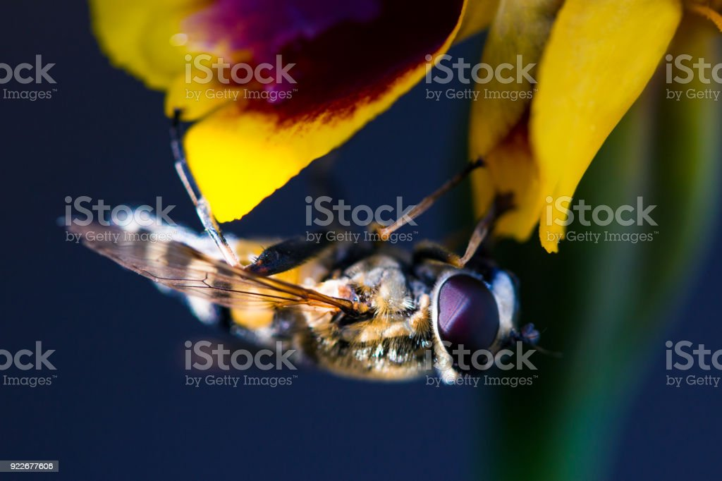 A fluffy hornet flew onto yellow flower to drink nectar stock photo