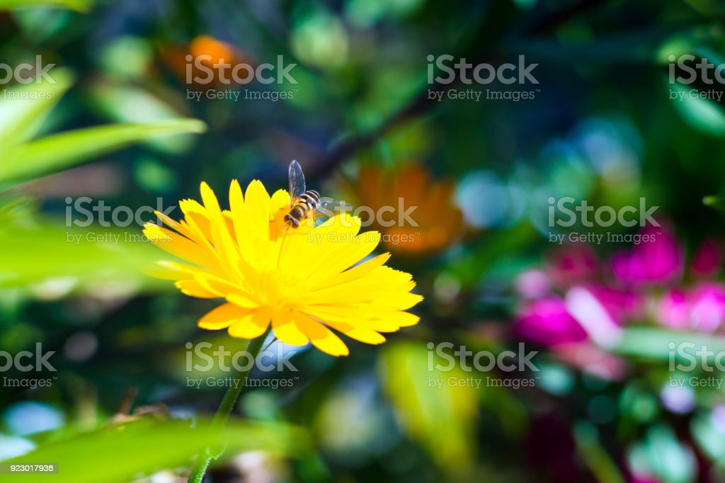 A fluffy hornet flew to drink sweet nectar from yellow flower stock photo