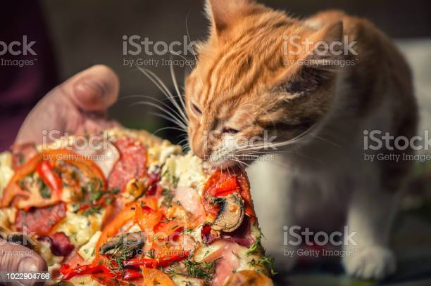 Fluffy iittle red kitten is eating big pizza picture id1022904766?b=1&k=6&m=1022904766&s=612x612&h=l9jsxim92gptc x h5crshlrcjzekqv4nrydmbi68x0=