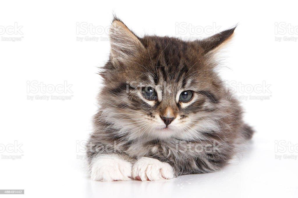 Fluffy kitten lying down (isolated on white) stock photo