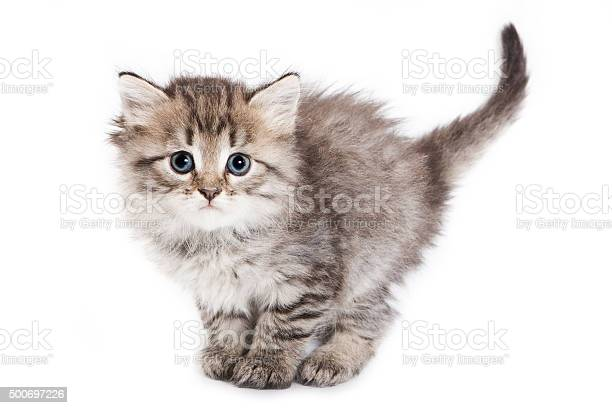 Fluffy kitten stands with a large tail picture id500697226?b=1&k=6&m=500697226&s=612x612&h=u3p0ivbeuuf2eh0ri7n wplzqhphxyhyaif4ks4vdaw=