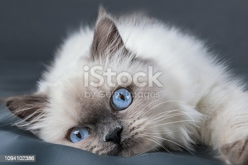 Close up portrait of kitten Rag Doll