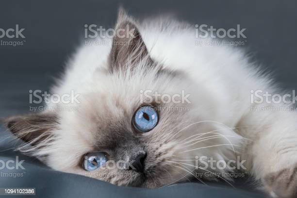 Fluffy kitten with blue eyes close up picture id1094102386?b=1&k=6&m=1094102386&s=612x612&h=8hmnqds6clflbghlt7algpfzxx45okhngvhuy3yftly=