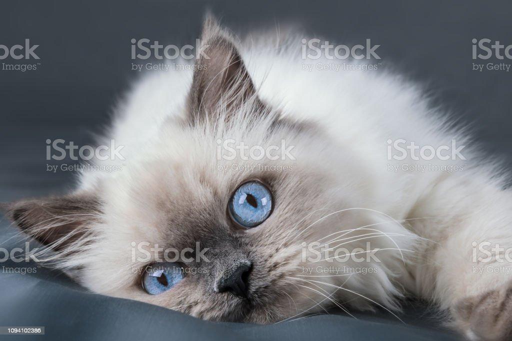 Gatinho fofo, com olhos azuis. Close-up. - foto de acervo