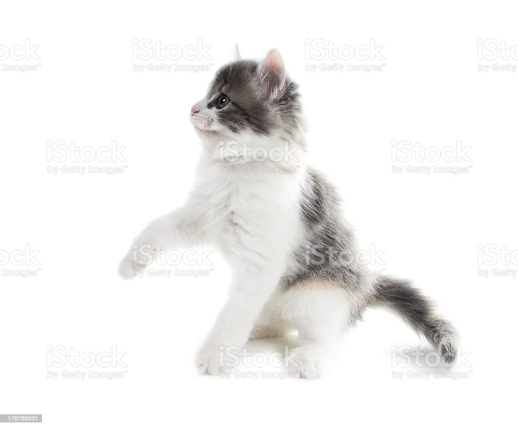 Fluffy kitten with blue eyes, raised one foot royalty-free stock photo