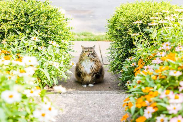 Fluffy large maine coot cat sitting outside by flowers in summer picture id840068074?b=1&k=6&m=840068074&s=612x612&w=0&h= uf e26ia8vy5qh1cllbe7akmez5hloxy du3i1u9ri=