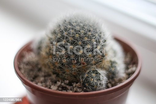 fluffy little cactus in a pot on a windowsill in a hand