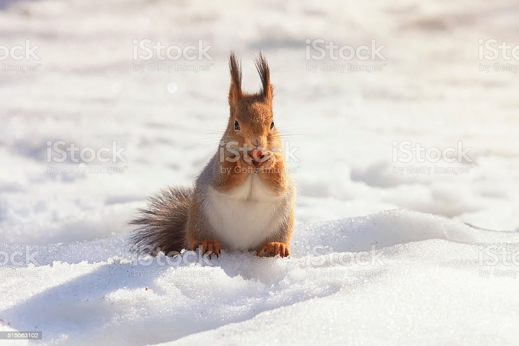 fluffy little red squirrel in the snow stock photo