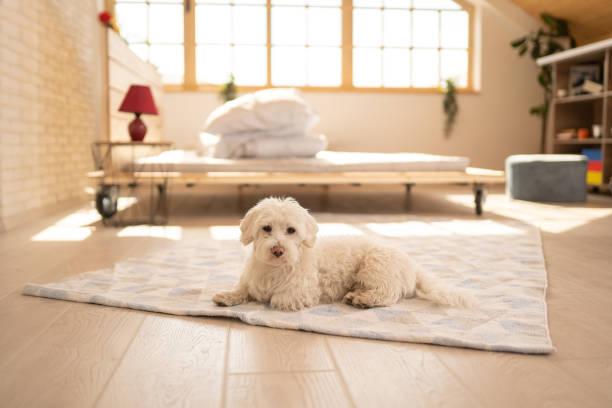 Flauschiger maltesischer Hund auf Teppich im Schlafzimmer – Foto