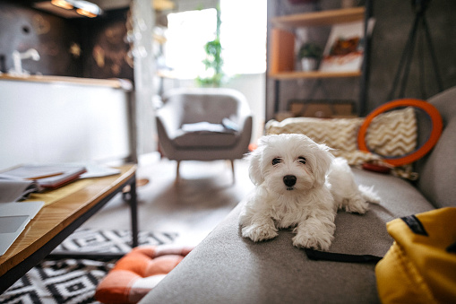 Cute Maltese dog lying on sofa in modern apartment and waiting for owner