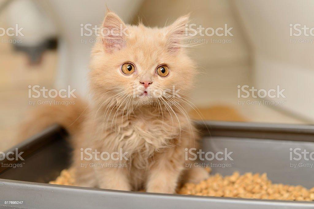 Fofo Filhote de Gato persa - foto de acervo