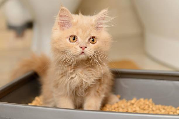 Suave persa mascota - foto de stock
