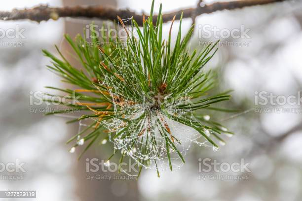 Photo of fluffy pine needles with water drops, coniferous forest after rain, dew on trees in early morning