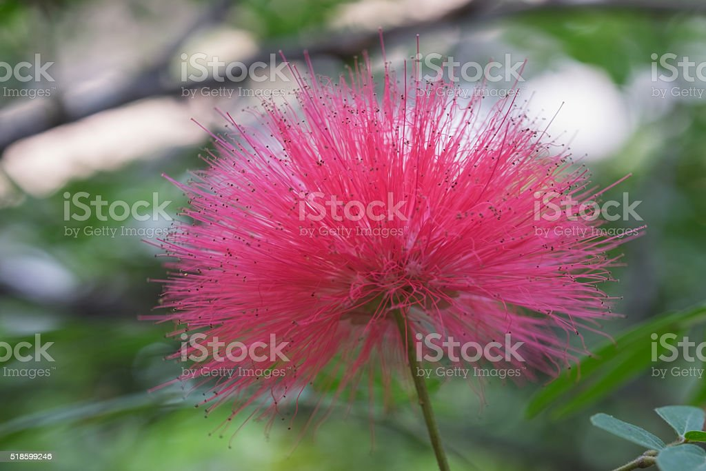Fluffy Pink Mimosa Flower Stock Photo More Pictures Of Botany Istock
