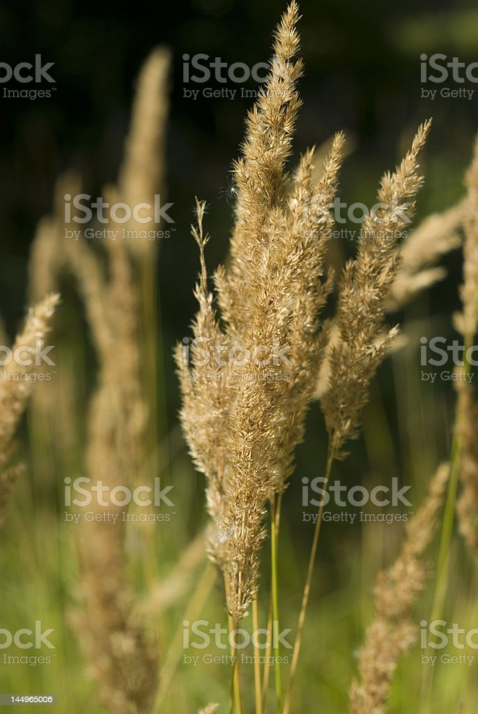 Fluffy plants royalty-free stock photo