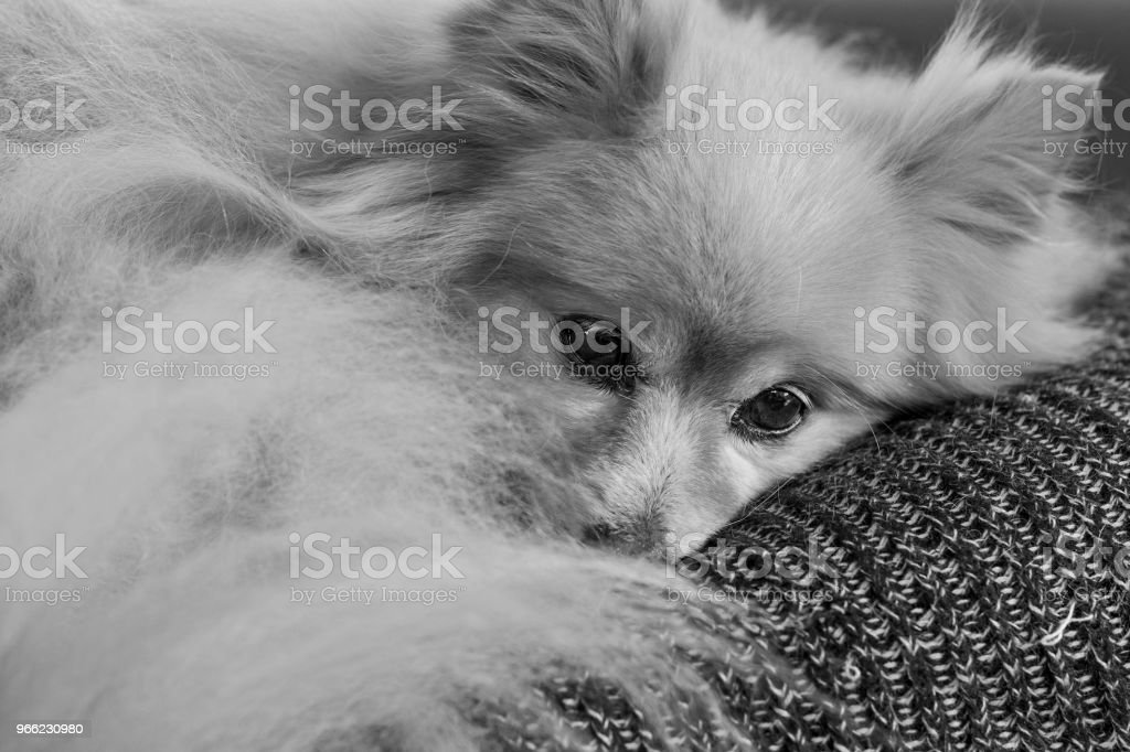 Fluffy Pomeranian dog laying on a blanket indoors. stock photo