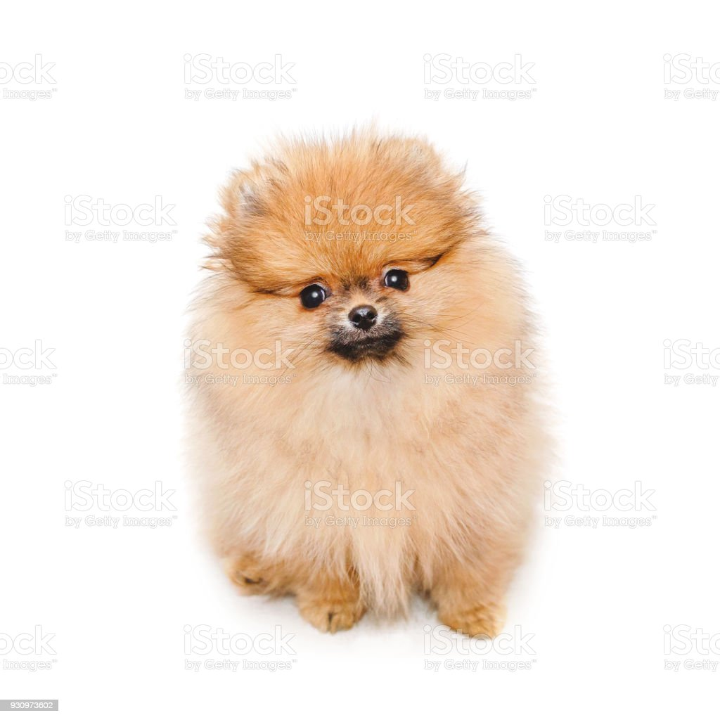 Fluffy Pomeranian Puppy Small Dog Isolated On White Stock Photo Download Image Now Istock