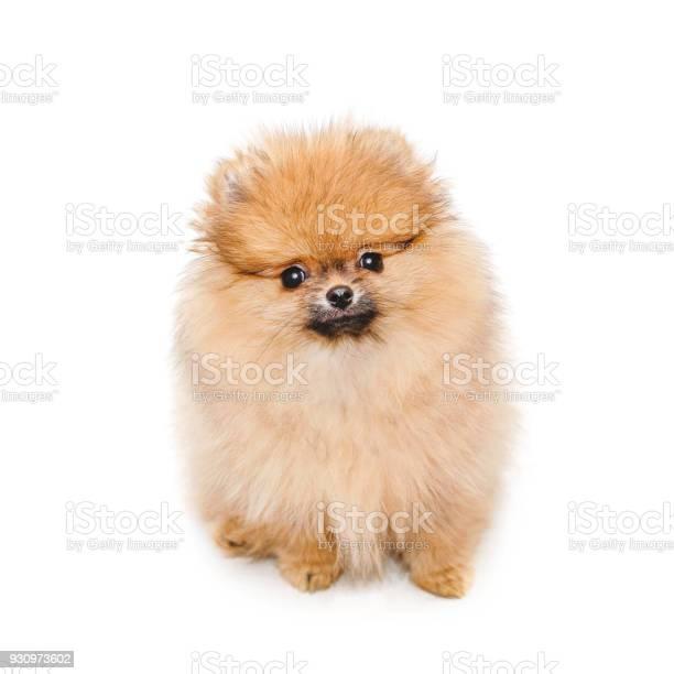 Fluffy pomeranian puppy small dog isolated on white picture id930973602?b=1&k=6&m=930973602&s=612x612&h=hvm2xx4efuwudh4huhov nv engon ft1cxgtmjd pk=
