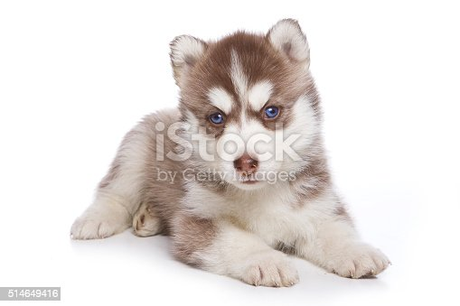 Fluffy Puppy Husky dog with blue eyes (isolated on white)