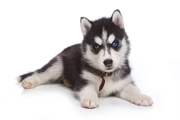 Fluffy Puppy Husky dog with blue eyes (isolated on white) Fluffy Puppy Husky dog with blue eyes (isolated on white) sled dog stock pictures, royalty-free photos & images