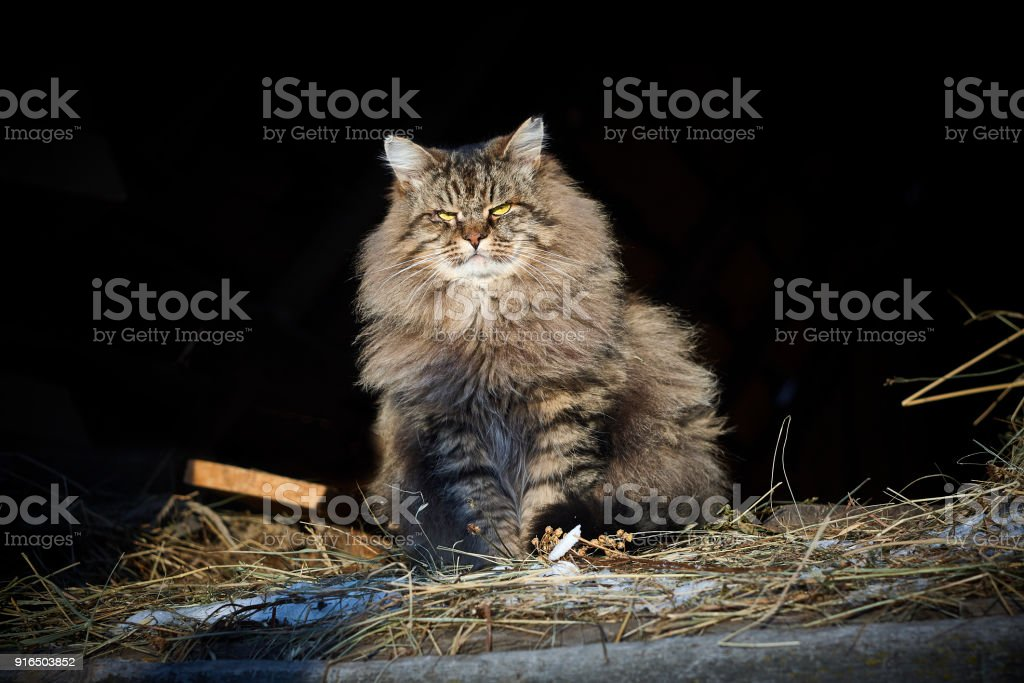fluffy purebred siberian cat looking at front on hay stock photo