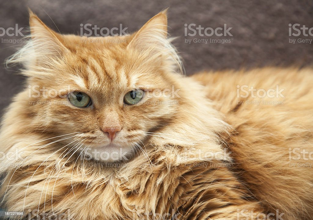 fluffy red cat close-up royalty-free stock photo