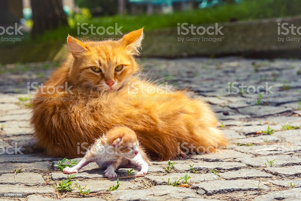 Fluffy red cat with newborn kitten outdoors. stock photo
