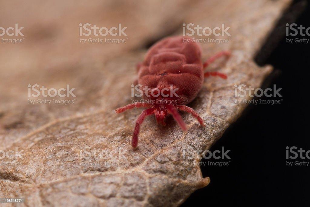 Fluffy Red Velvet Mite Crawls on Brown Leaf stock photo